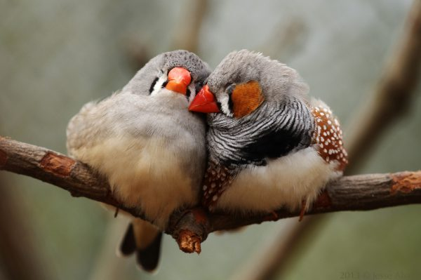 Two zebra finches snuggling on a twig